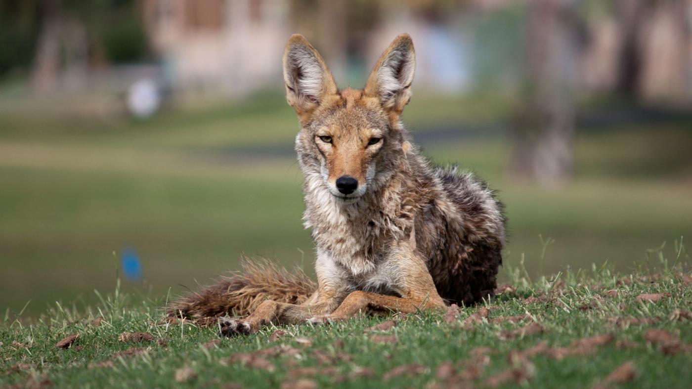 animal-eats-coyotes