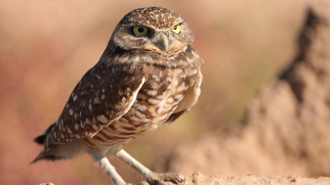 animals-predators-owls