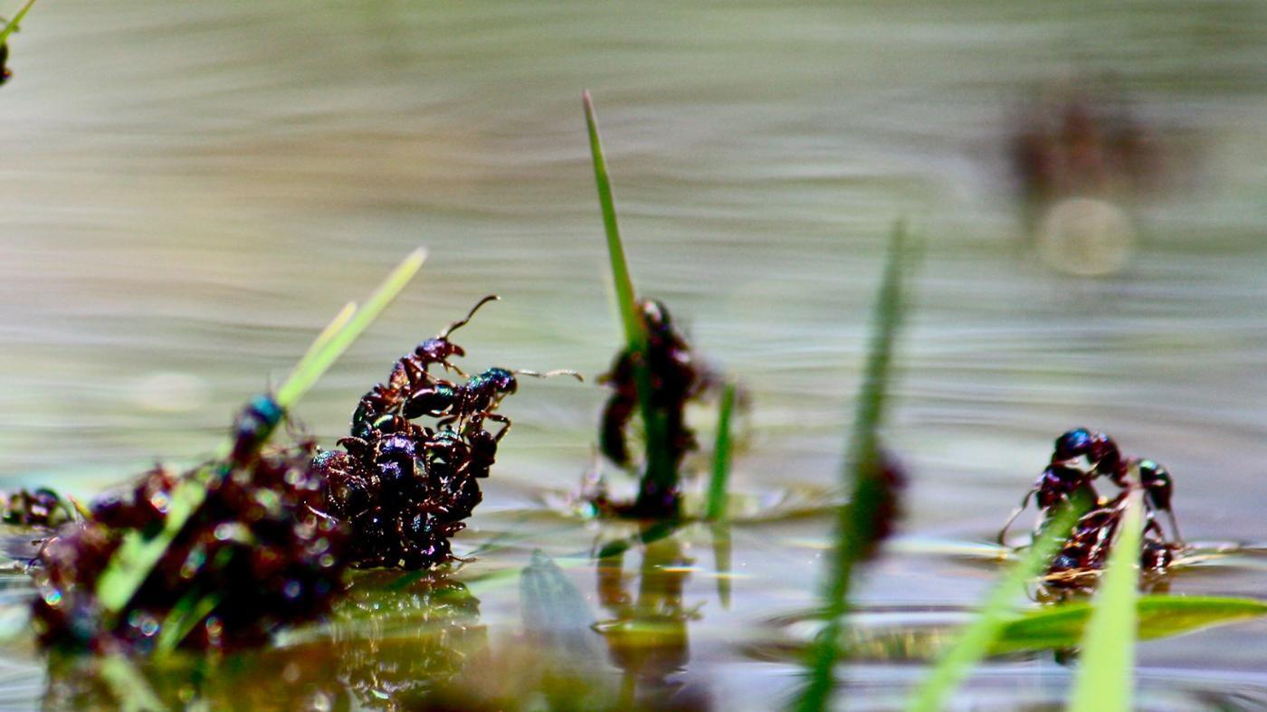 ants-drown-water
