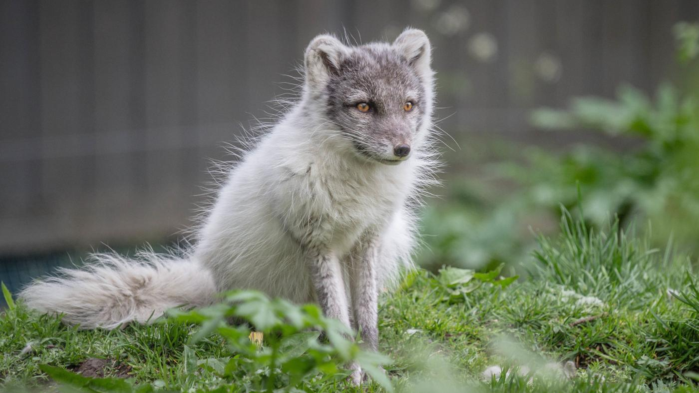 arctic-foxes-endangered