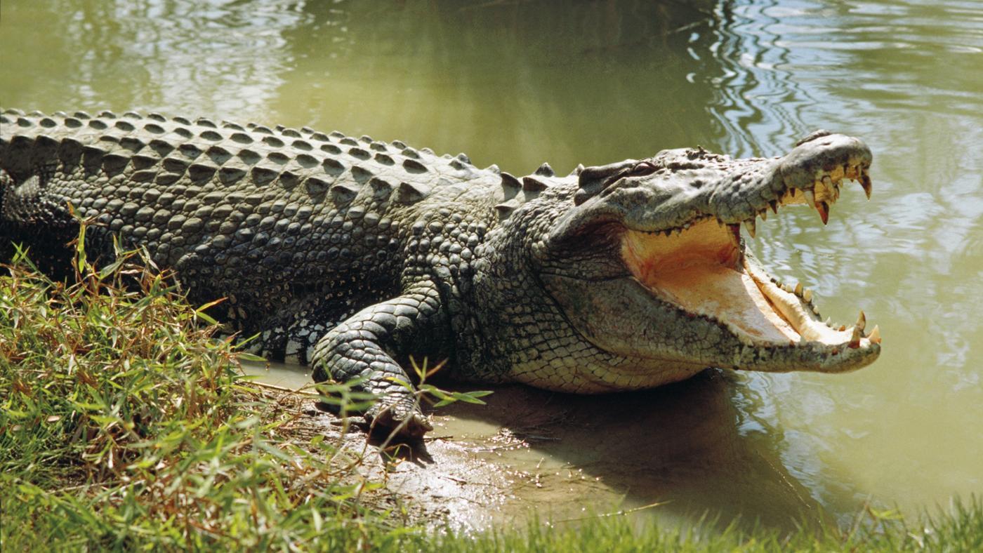average-life-span-crocodile