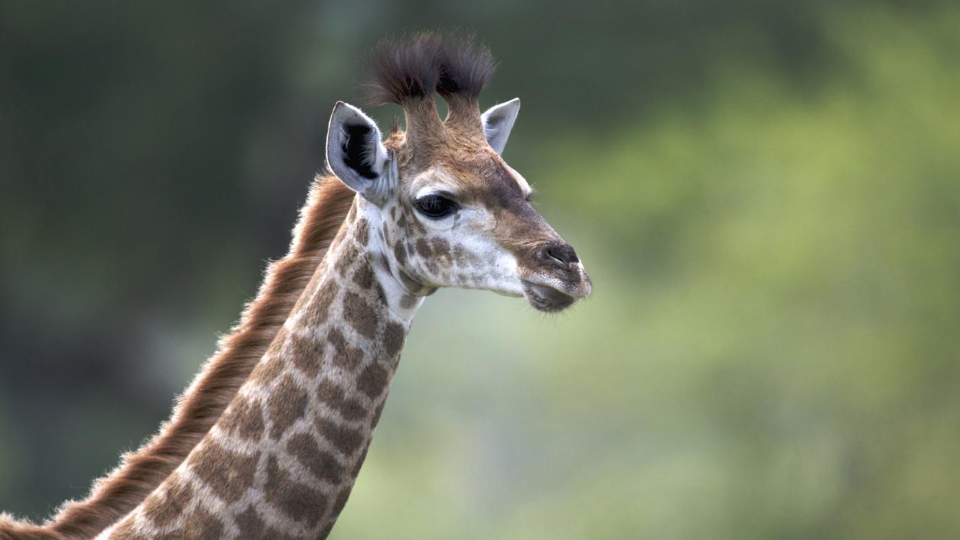 average-height-weight-baby-giraffe