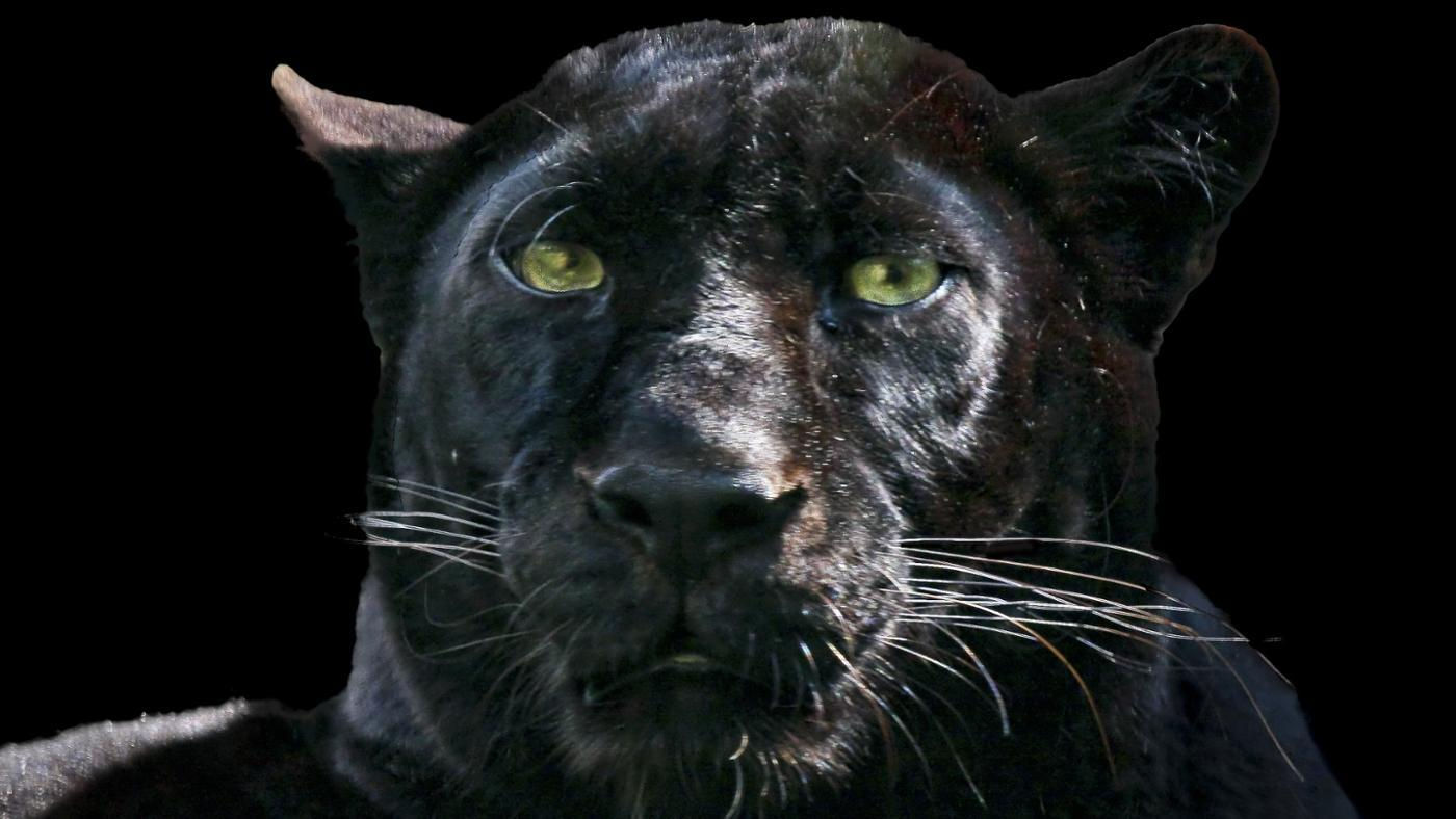 black-panther-protect-itself