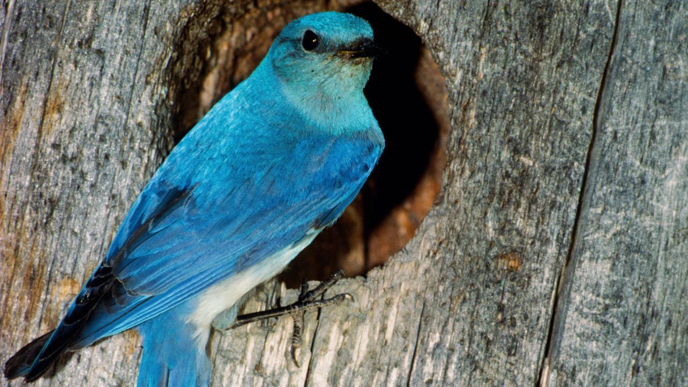 bluebird-symbolize