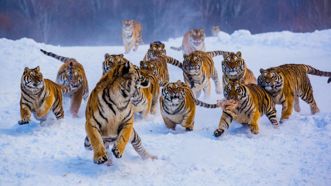 call-group-tigers