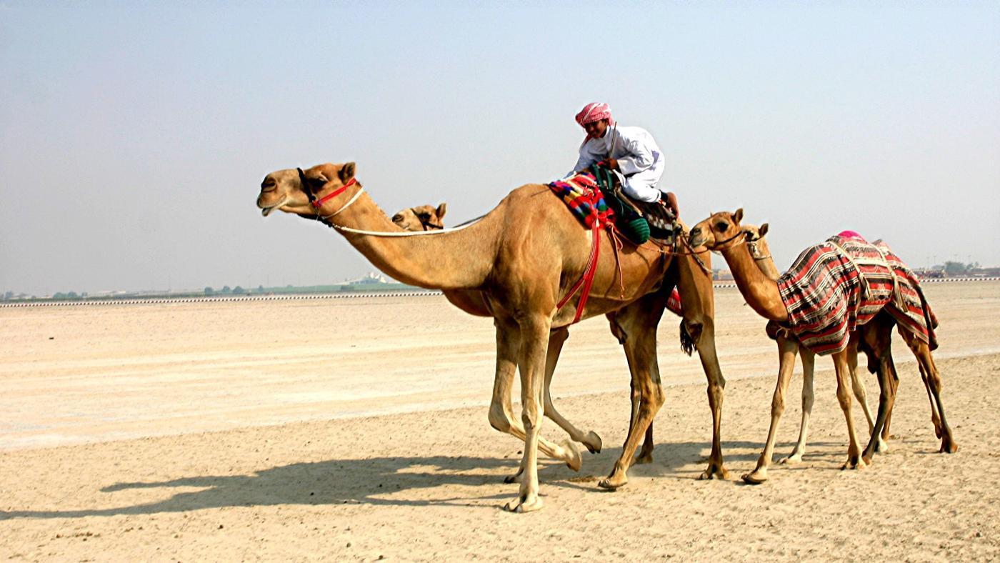 camels-survive-desert