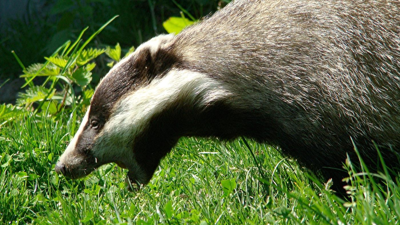 can-badger-attack-humans