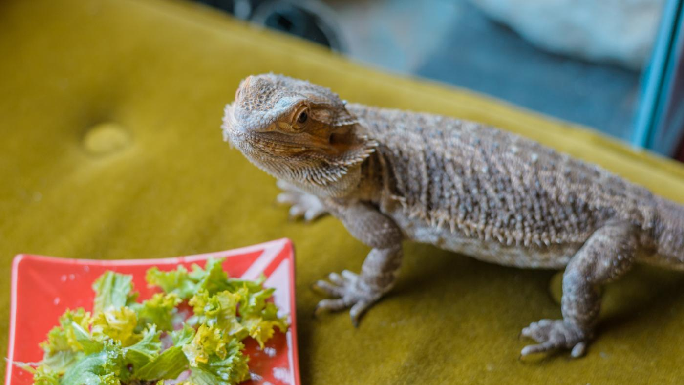 can-bearded-dragons-eat-broccoli