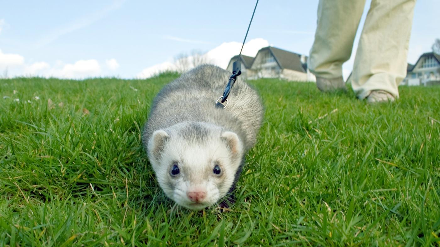 can-buy-ferret-online