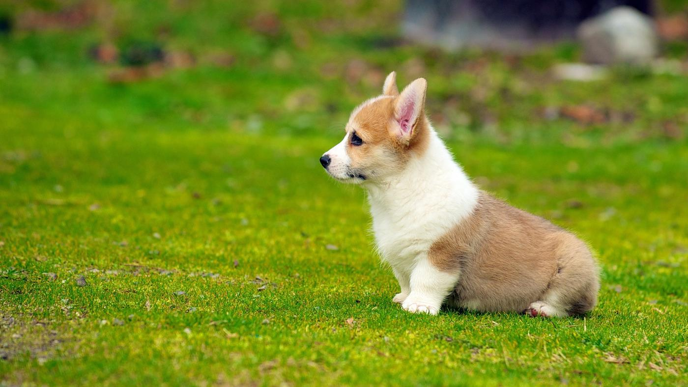can-corgi-puppies