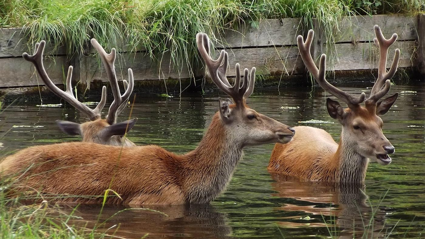 can-deer-swim