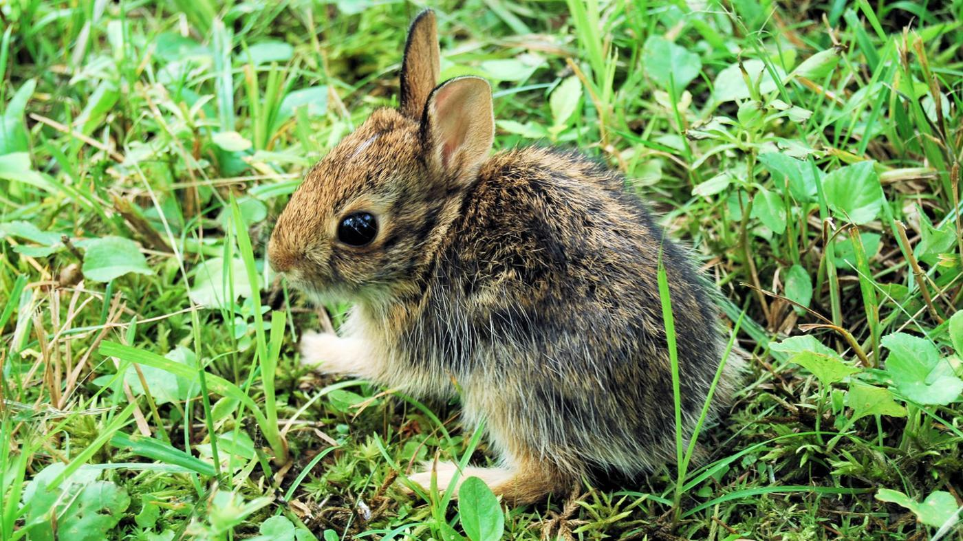 can-keep-wild-baby-rabbit-pet