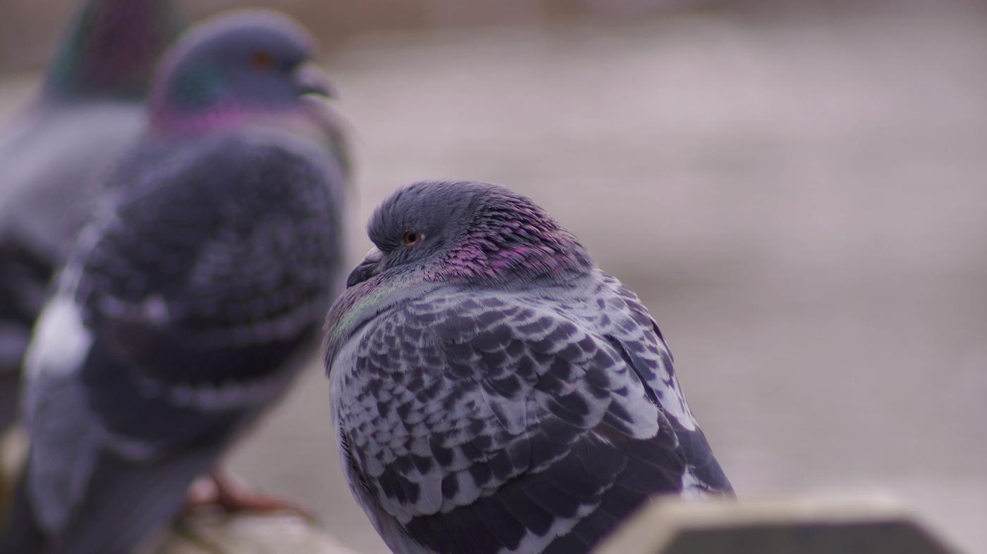 can-tell-pigeon-male-female