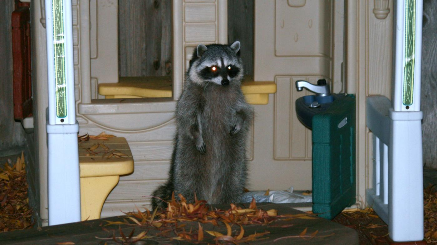 can-use-raccoon-repellent