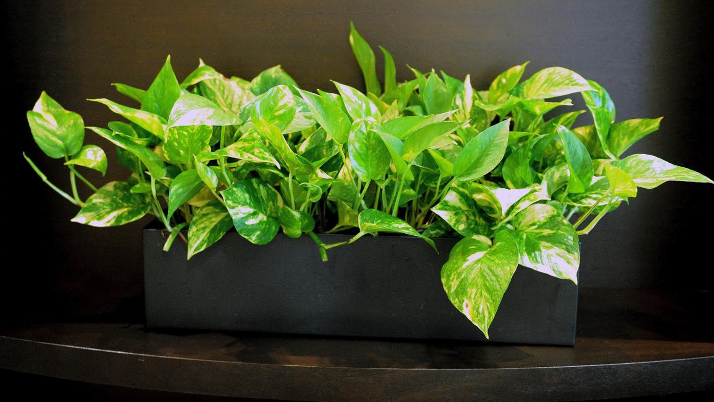 care-tips-neon-pothos