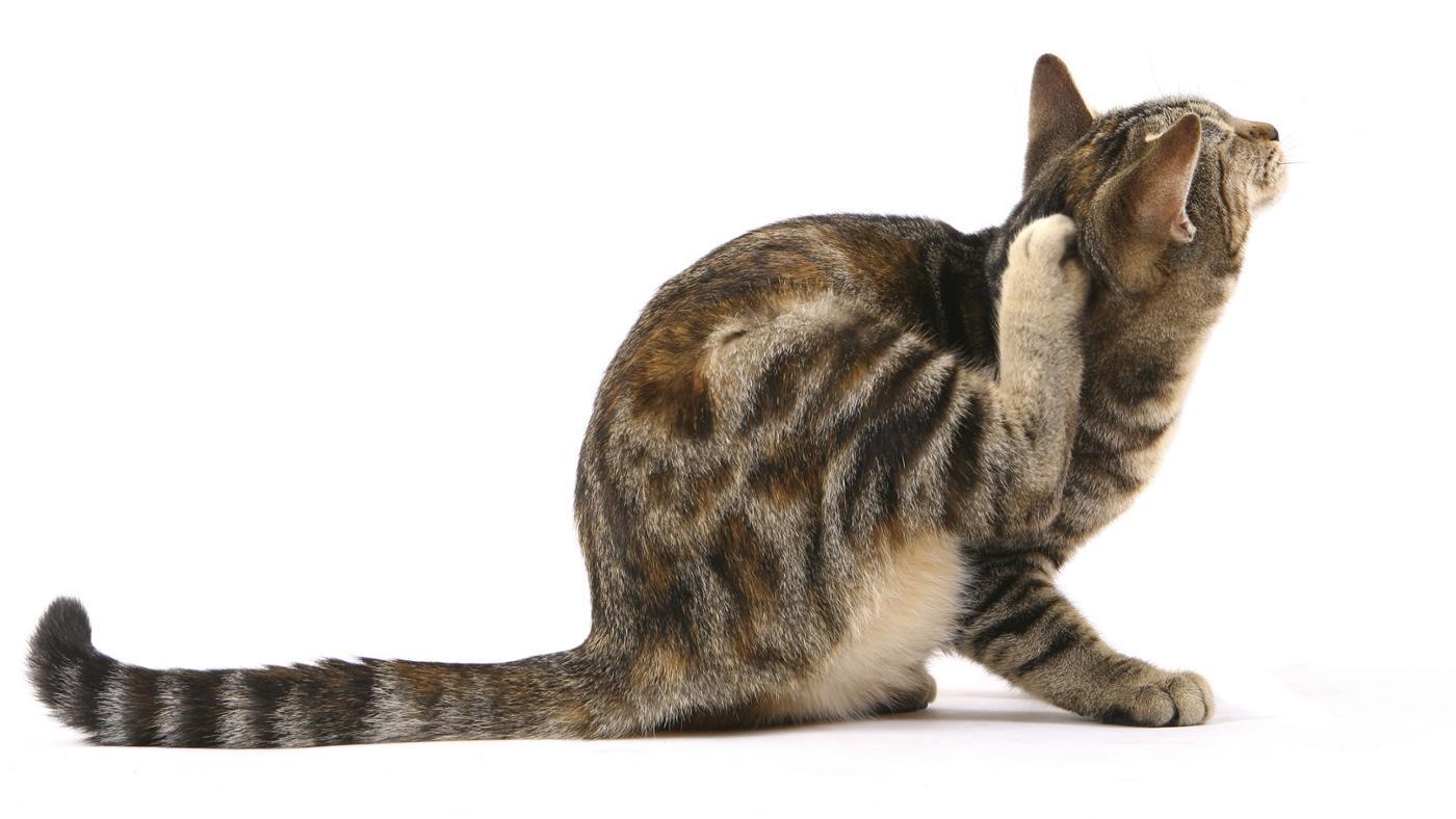 cat-still-fleas-after-used-frontline