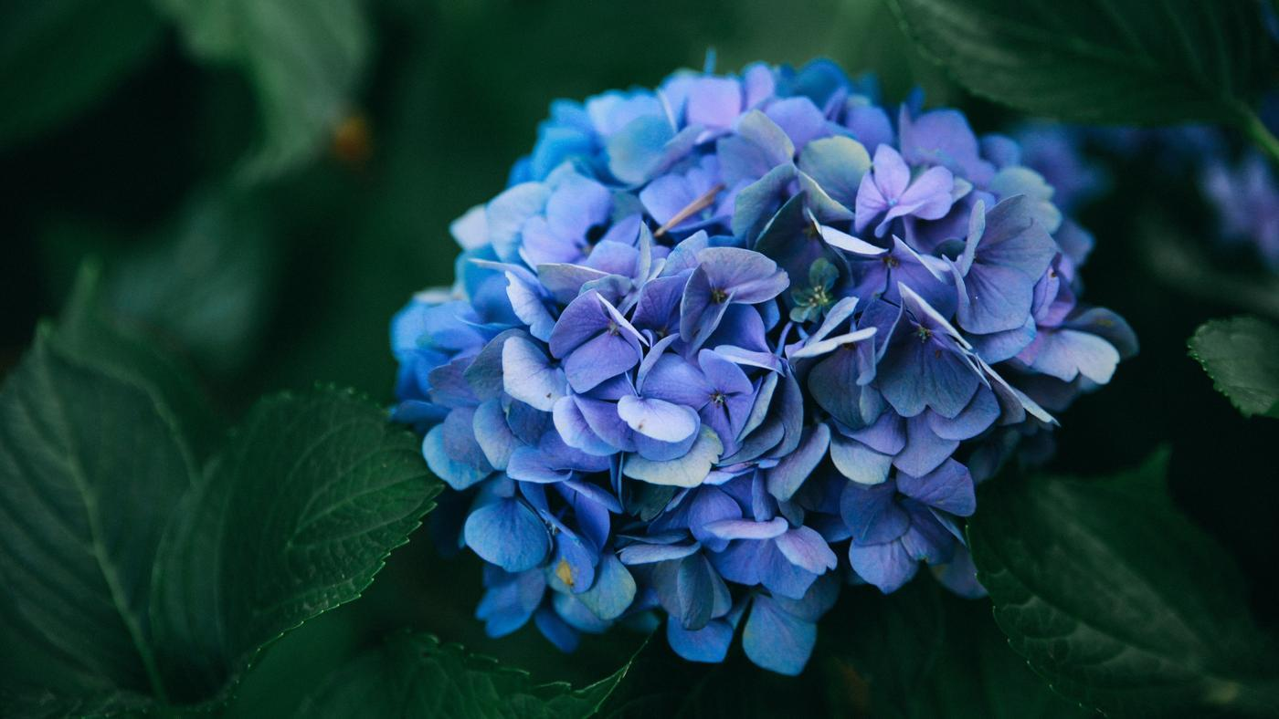 causes-black-spots-hydrangea-leaves
