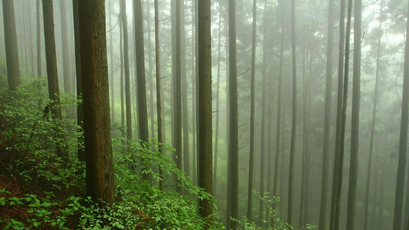 cedar-trees-grow
