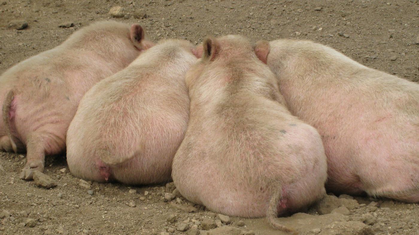 characteristics-pigs