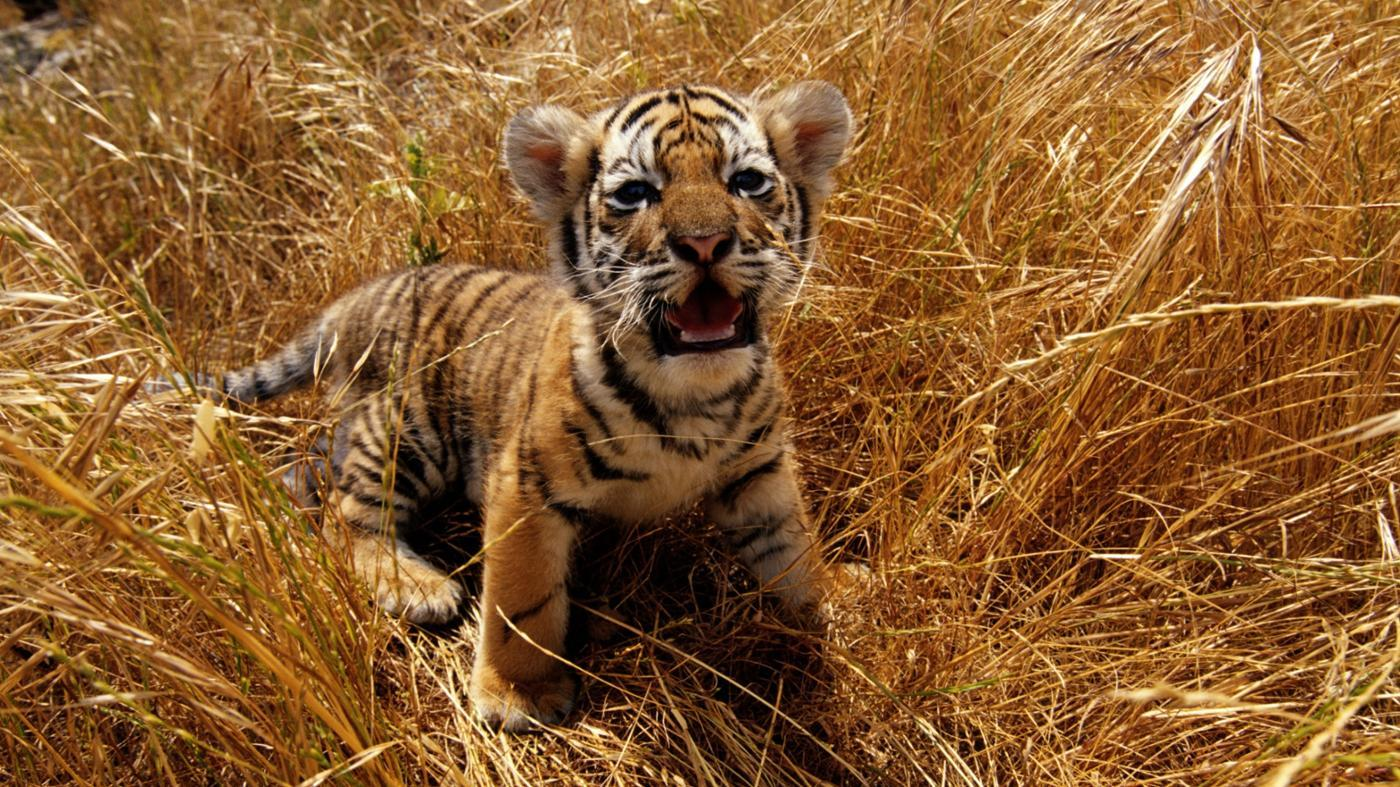 color-eyes-baby-tigers