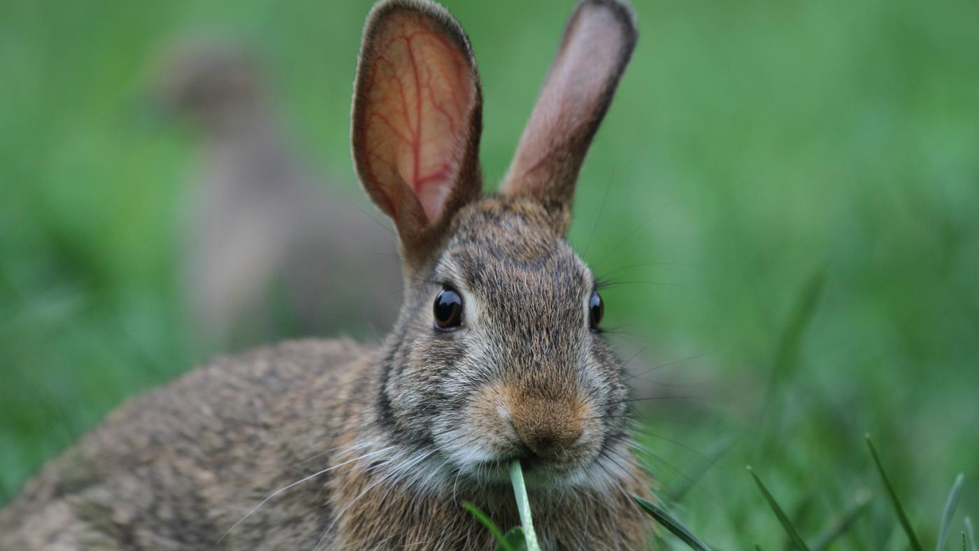 cottontail-rabbits-eat