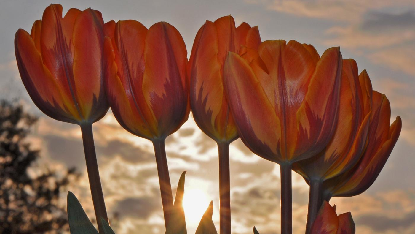 cut-back-tulips-after-bloomed