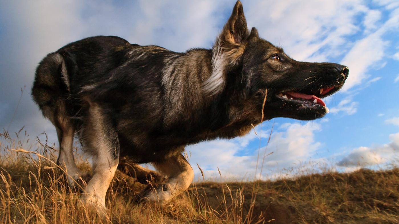 difference-between-king-shepherd-vs-german-shepherd