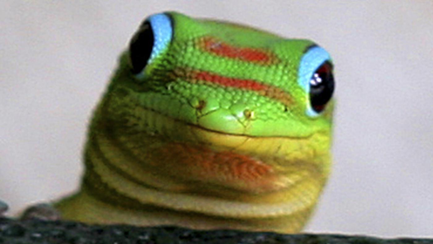 difference-between-lizards-geckos