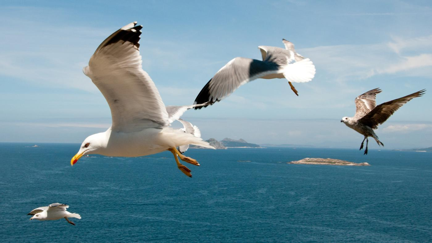 difference-between-male-female-seagulls