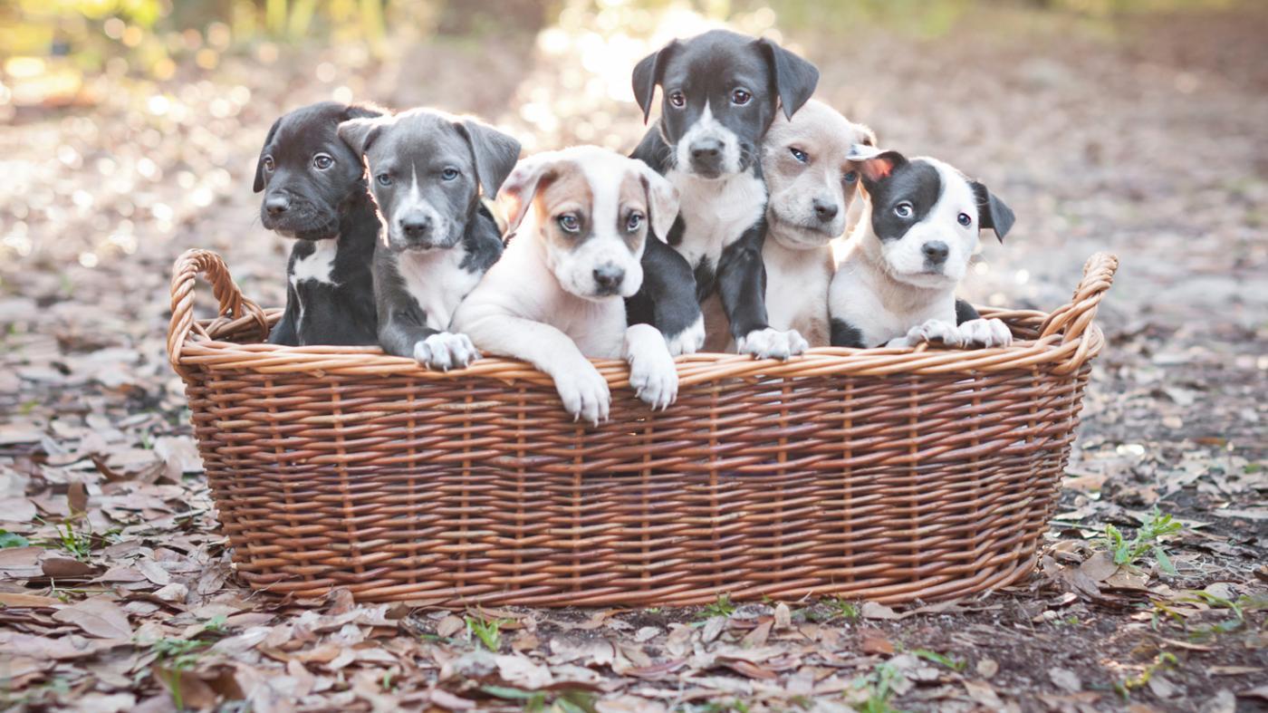 dog-food-pit-bull-puppies