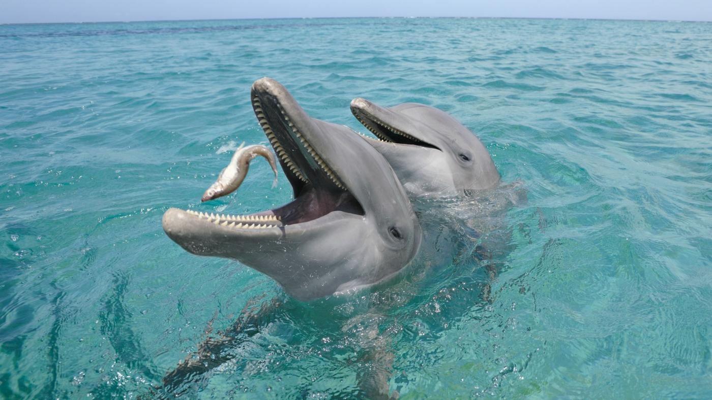 dolphins-eat