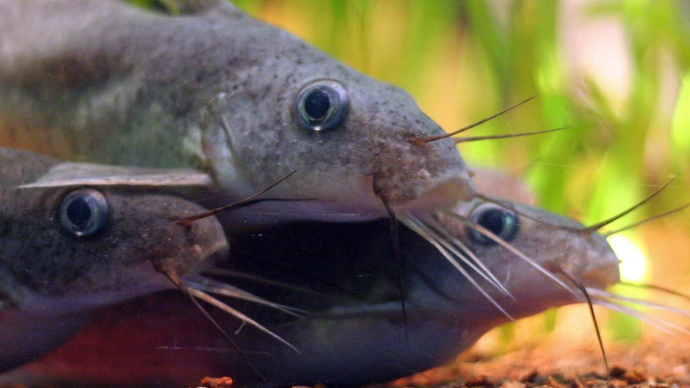 eats-catfish