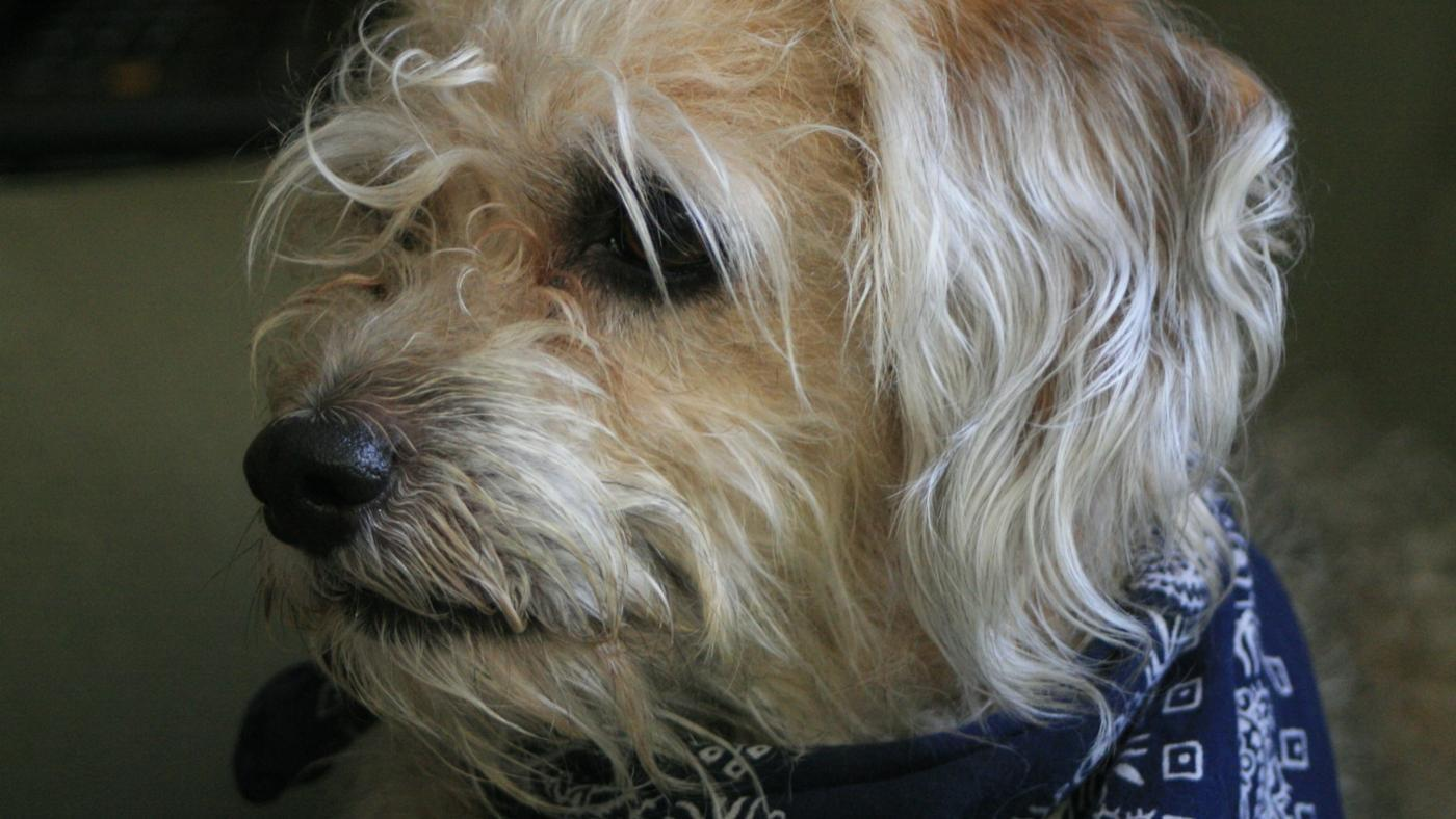 examples-scruffy-dog-breeds