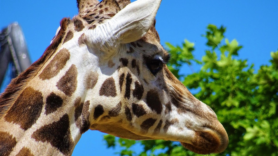 Fact Vs. Fiction Do Giraffes Have Two Hearts