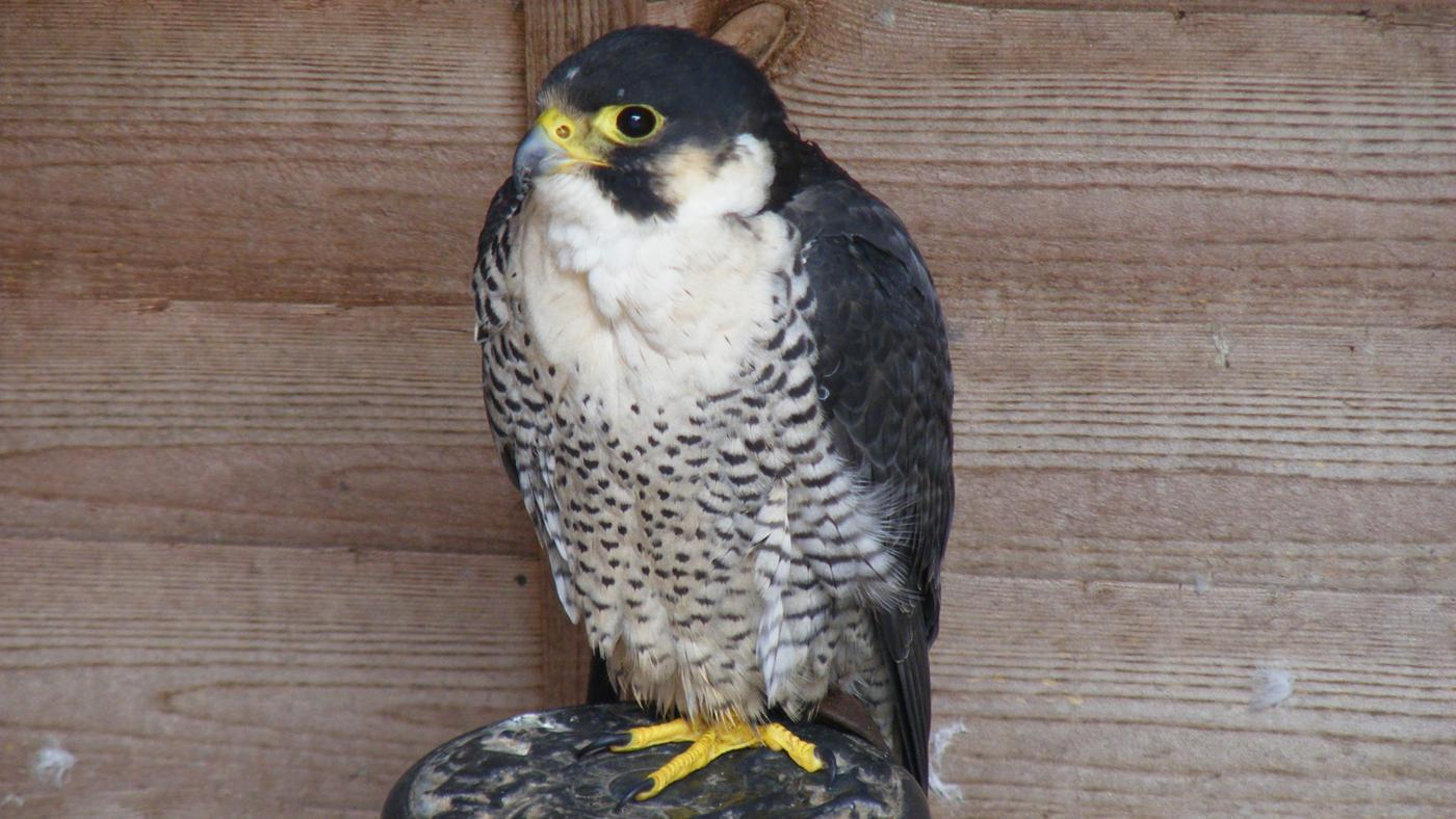 falcons-eat