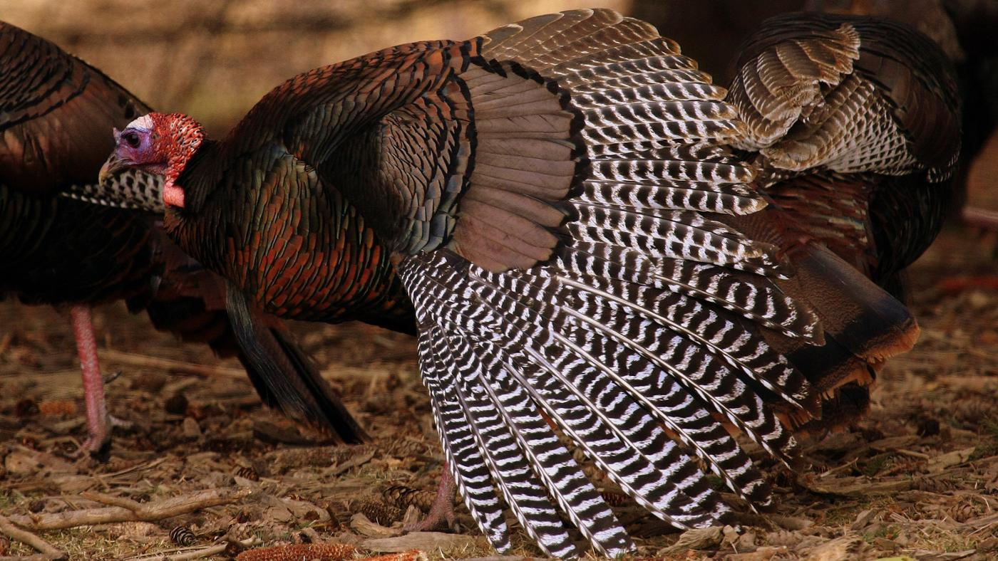 fast-can-wild-turkey-fly