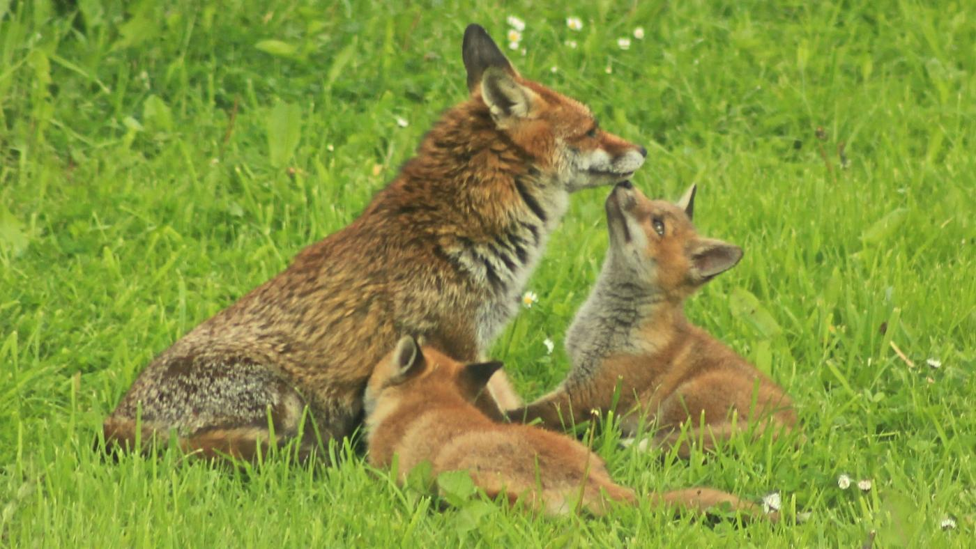 father-mother-care-newborn-fox