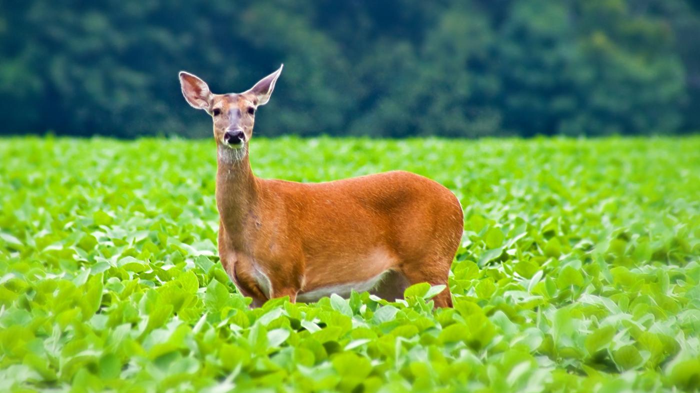 female-deer-called