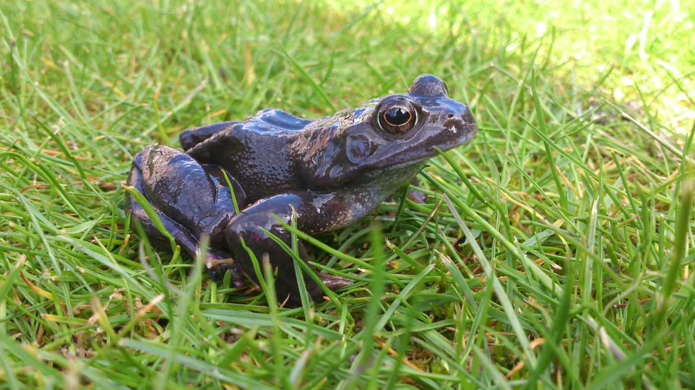 female-frog-called