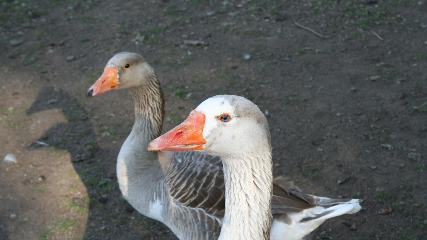 female-goose-called
