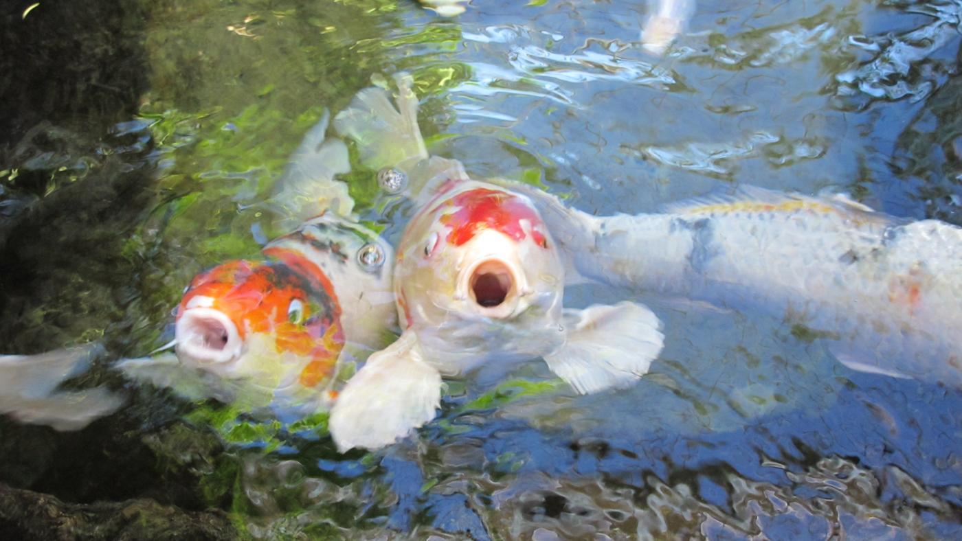 fish-swim-surface-water