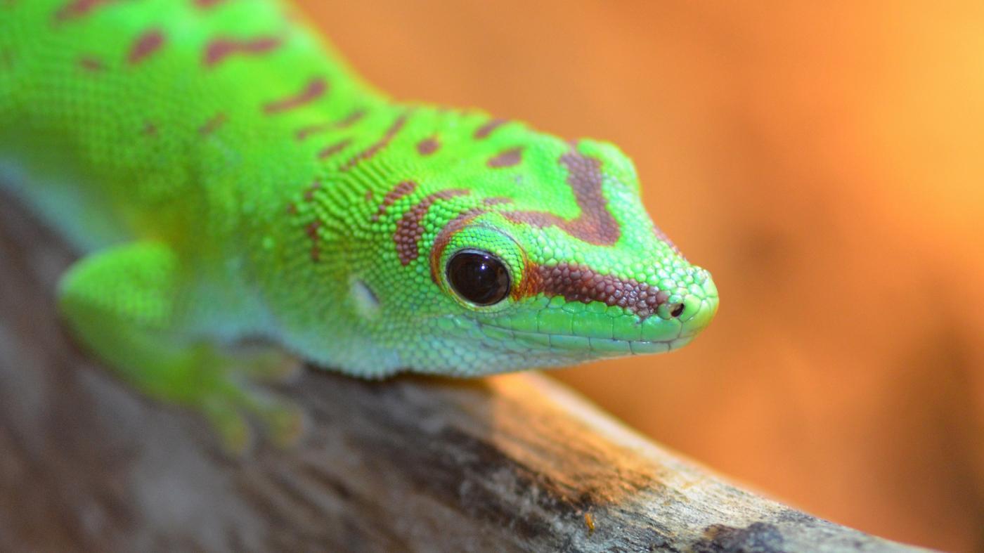 geckos-live