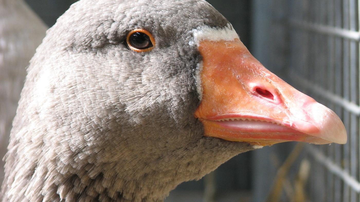 geese-teeth