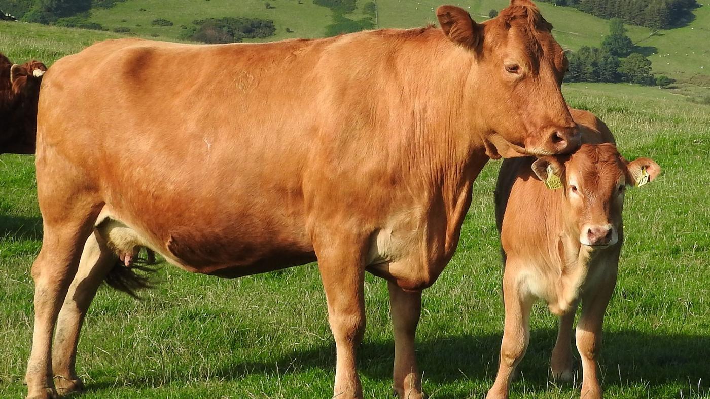 gestation-period-cow