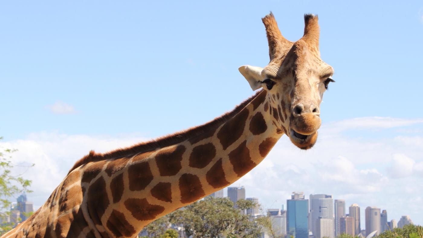 giraffes-eat-captivity