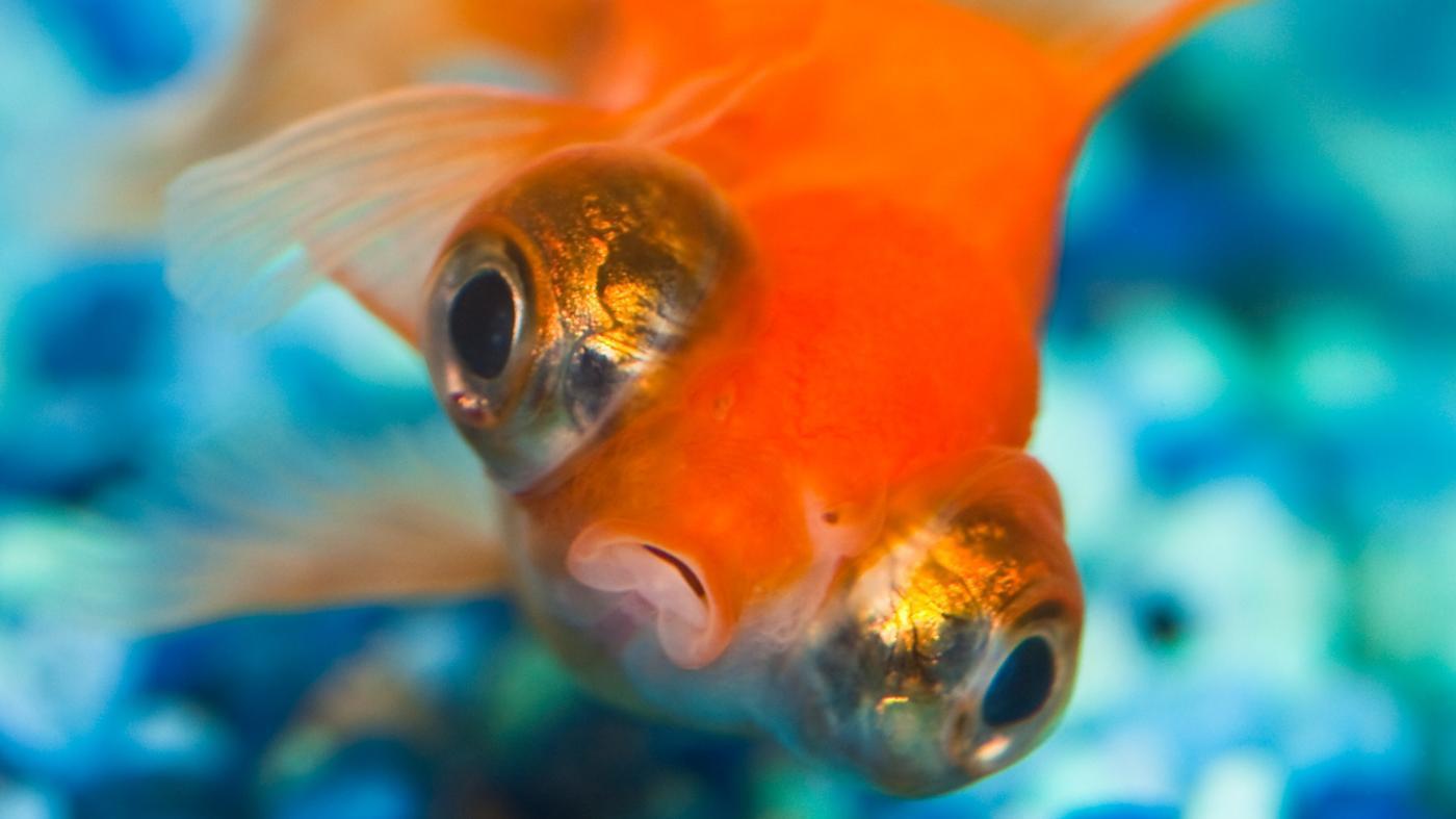goldfish-swim-upside-down
