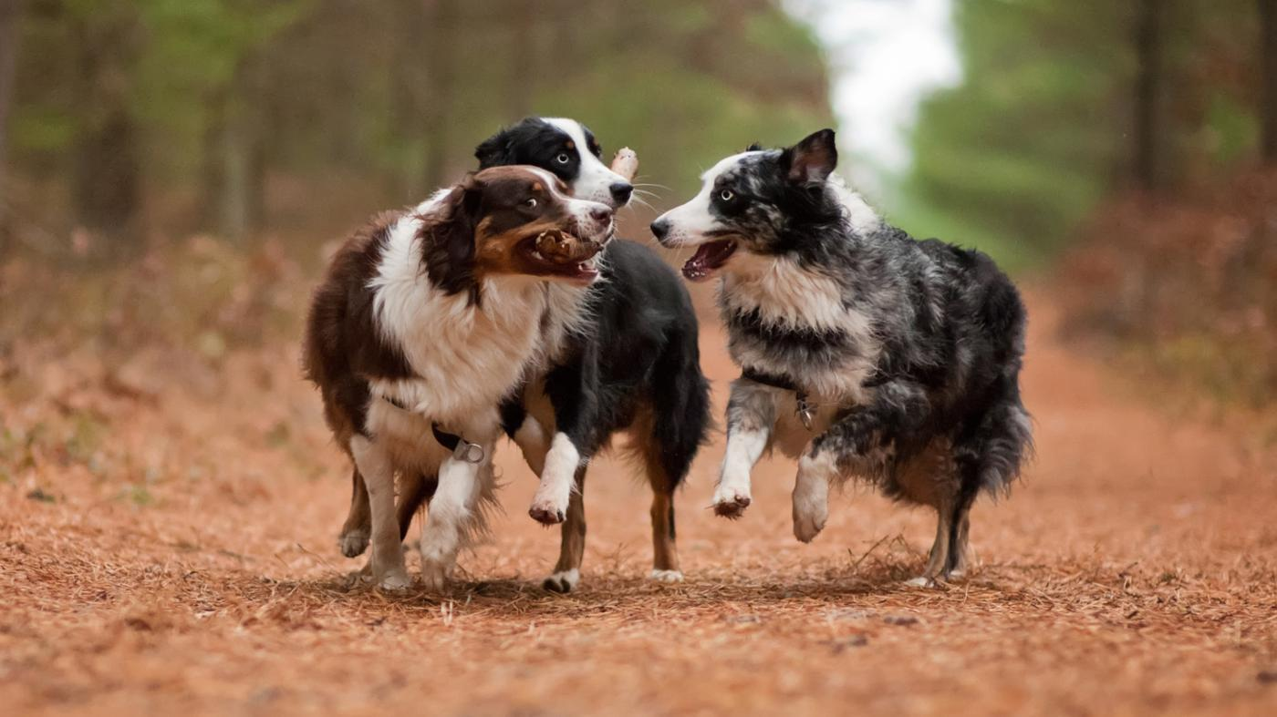 good-names-australian-shepherd