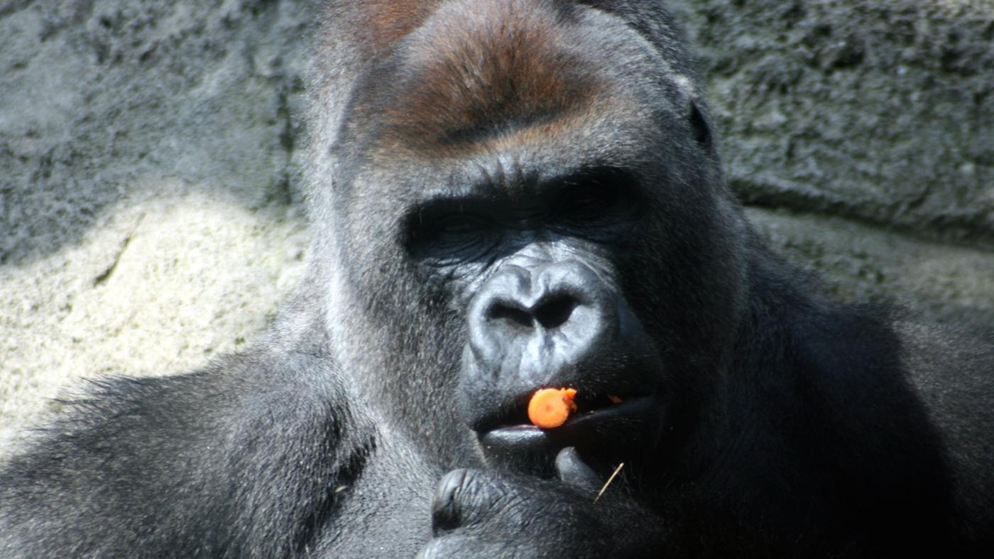 gorillas-omnivores-herbivores