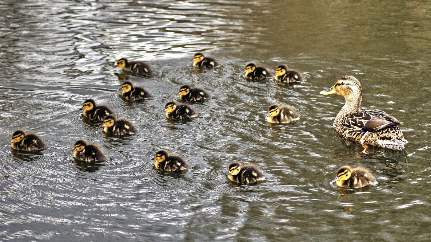 group-baby-ducks-called