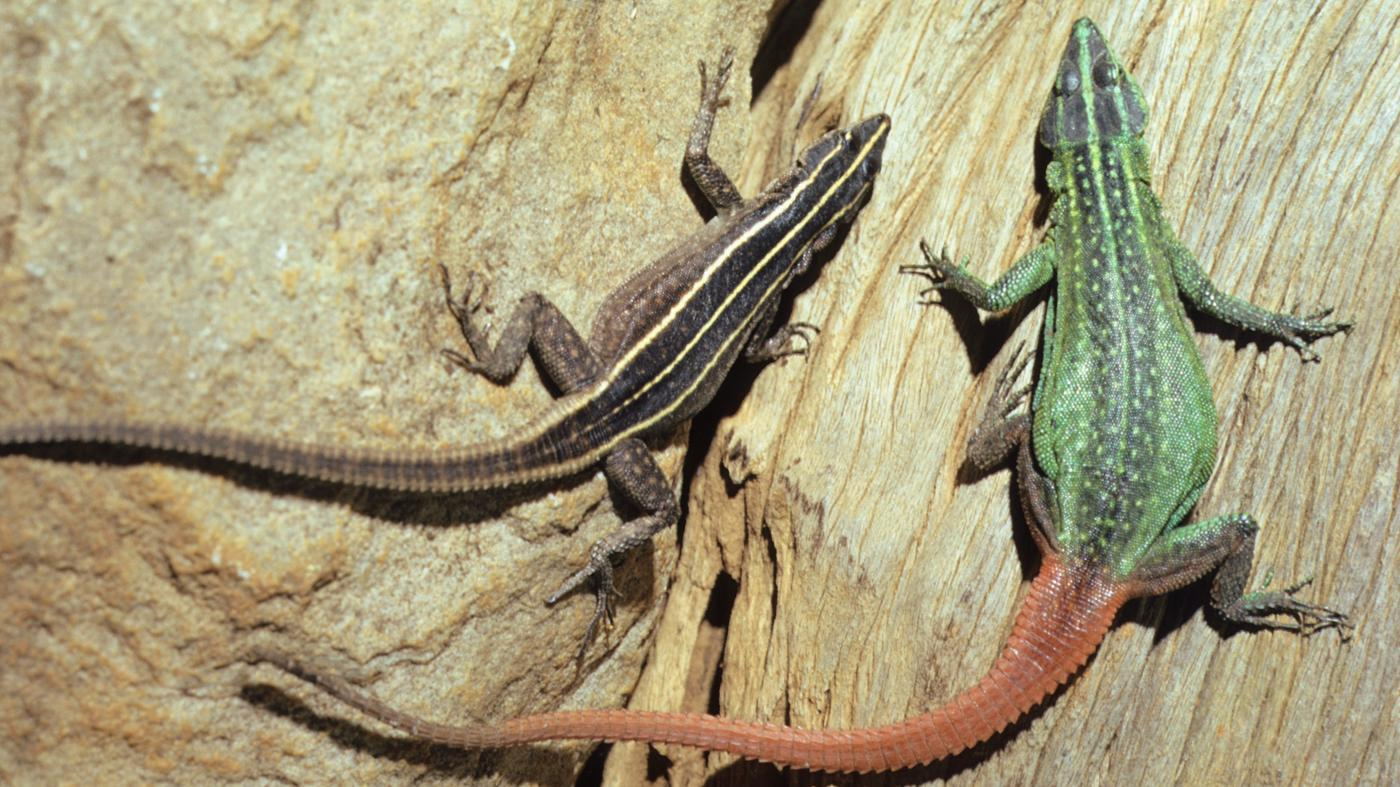 group-lizards-called